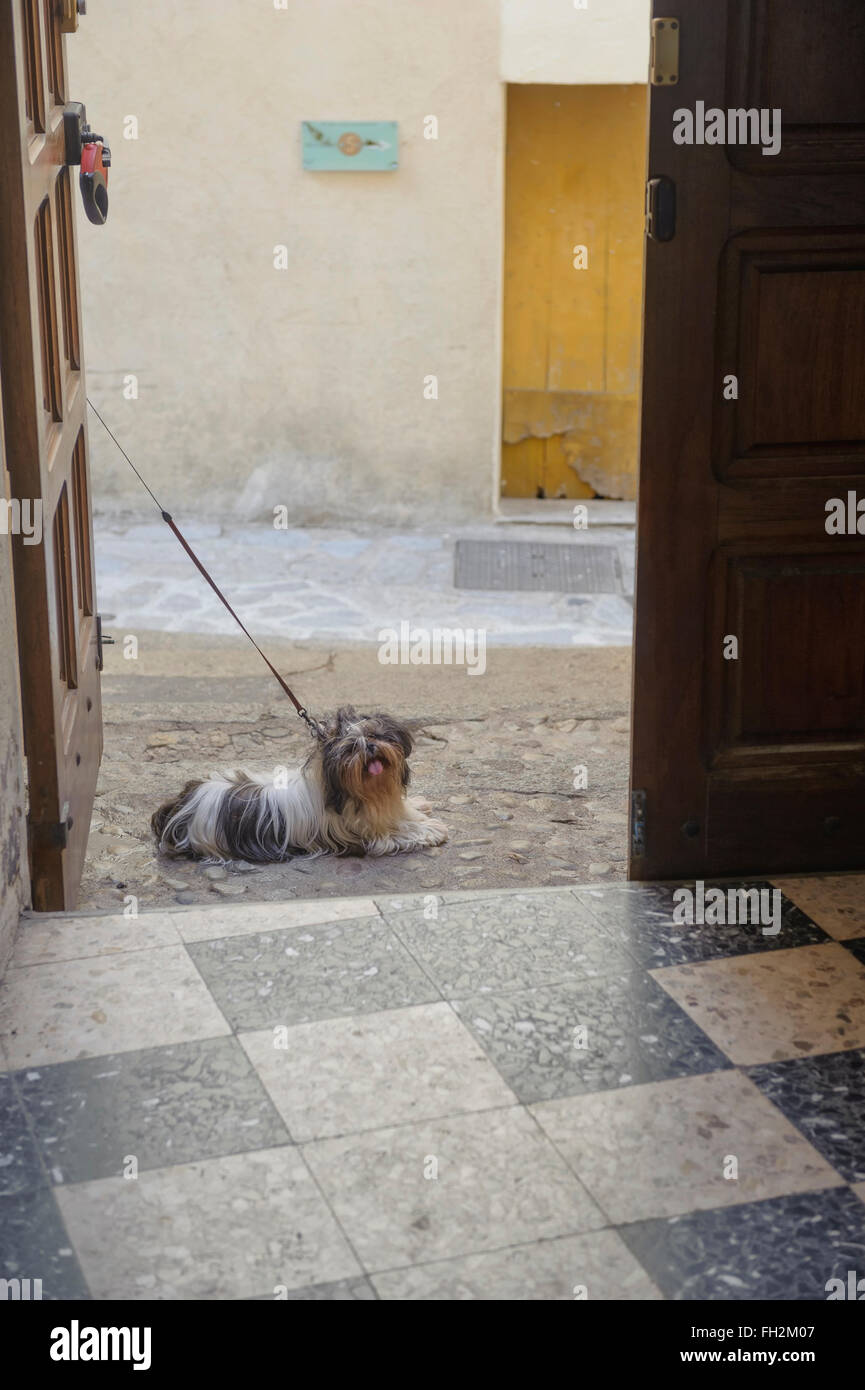 A small dog tied up outside the Cathedral of St-Jean-Baptiste, Calvi, Corsica, France - Stock Image