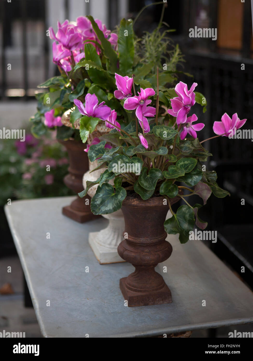 pink fresh cyclamen in wooden box for saling - Stock Image