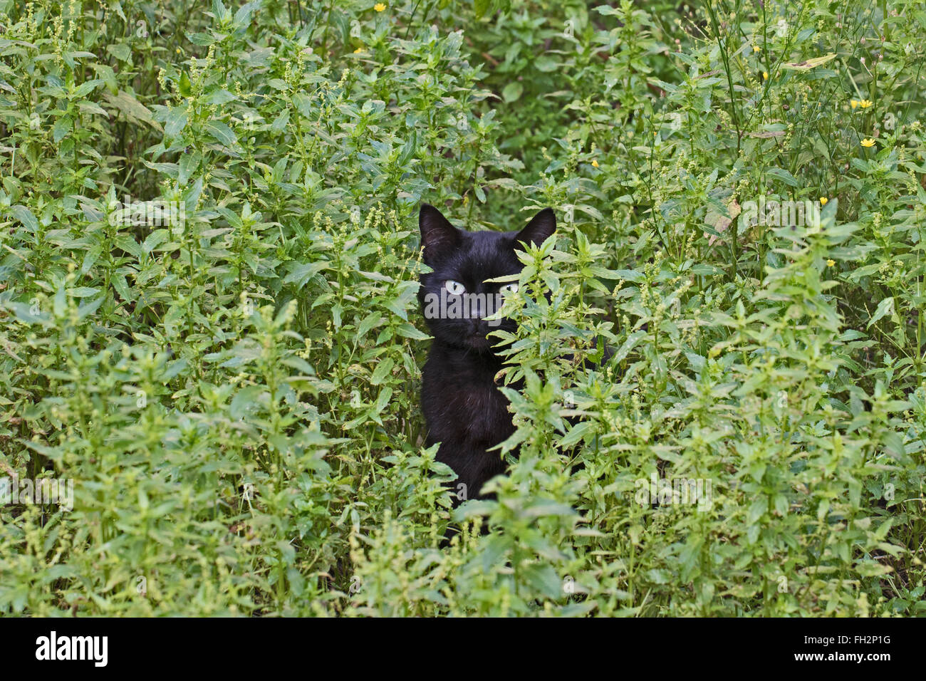 A young black cat looking out from its place of concealment - Stock Image