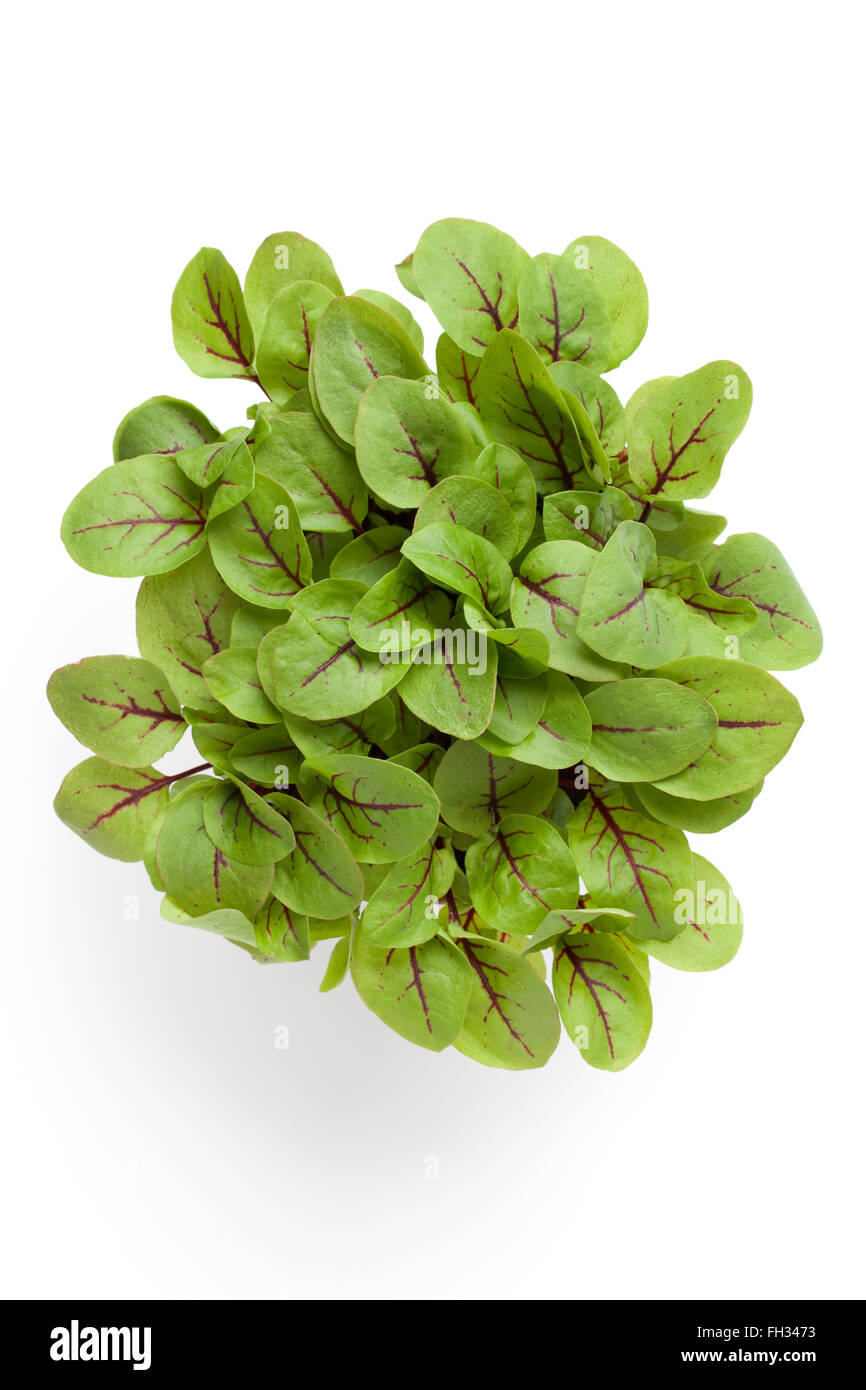 Fresh leaves of red veined dock isolated on white background - Stock Image