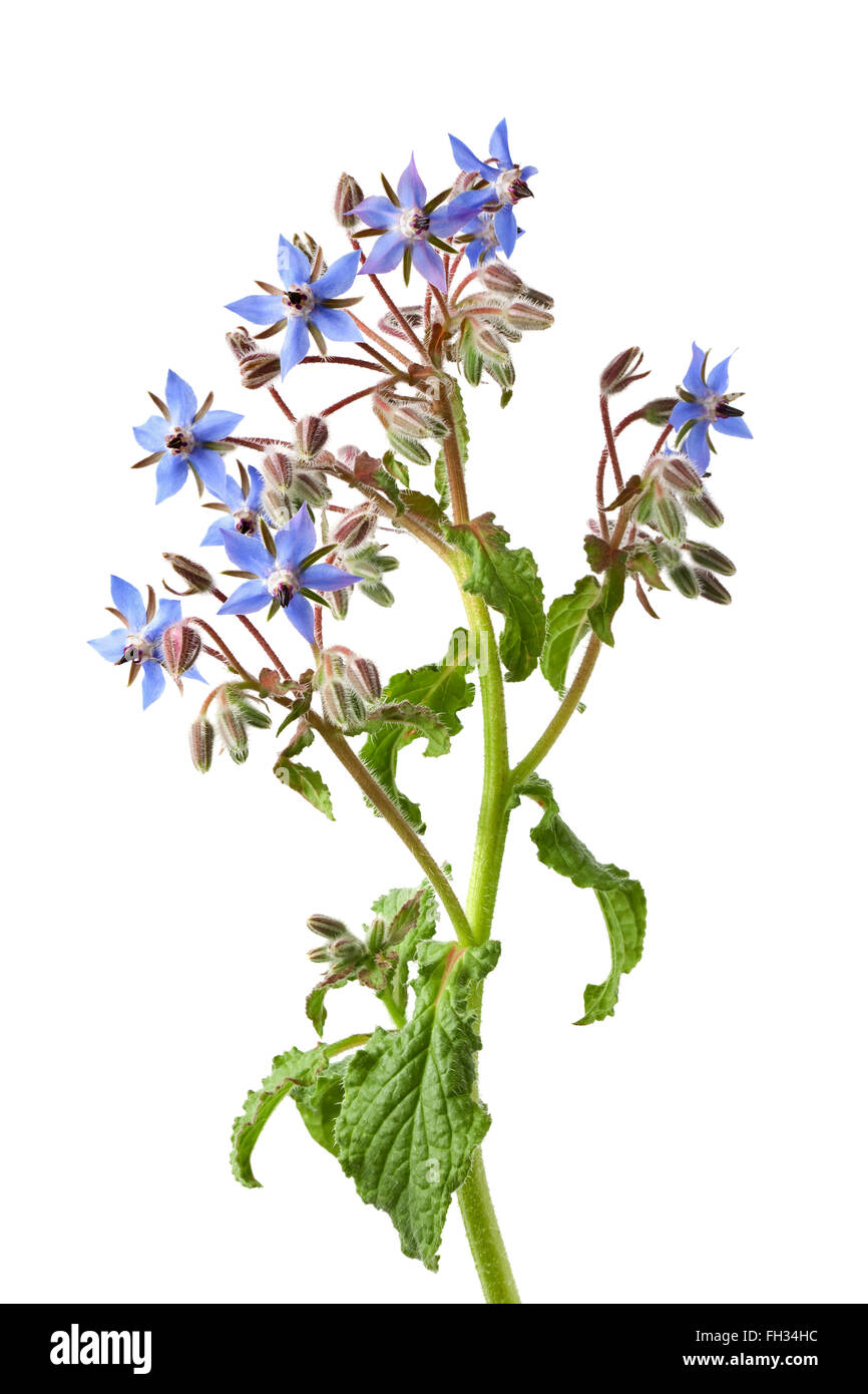 Fresh blue flowering Borage isolated on white background Stock Photo