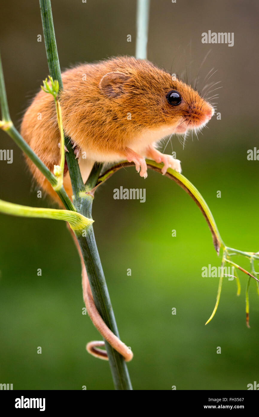 Harvest Mouse in captivity, perched on a weed stalk with its tail wrapped around the plant stem and looking cute. - Stock Image