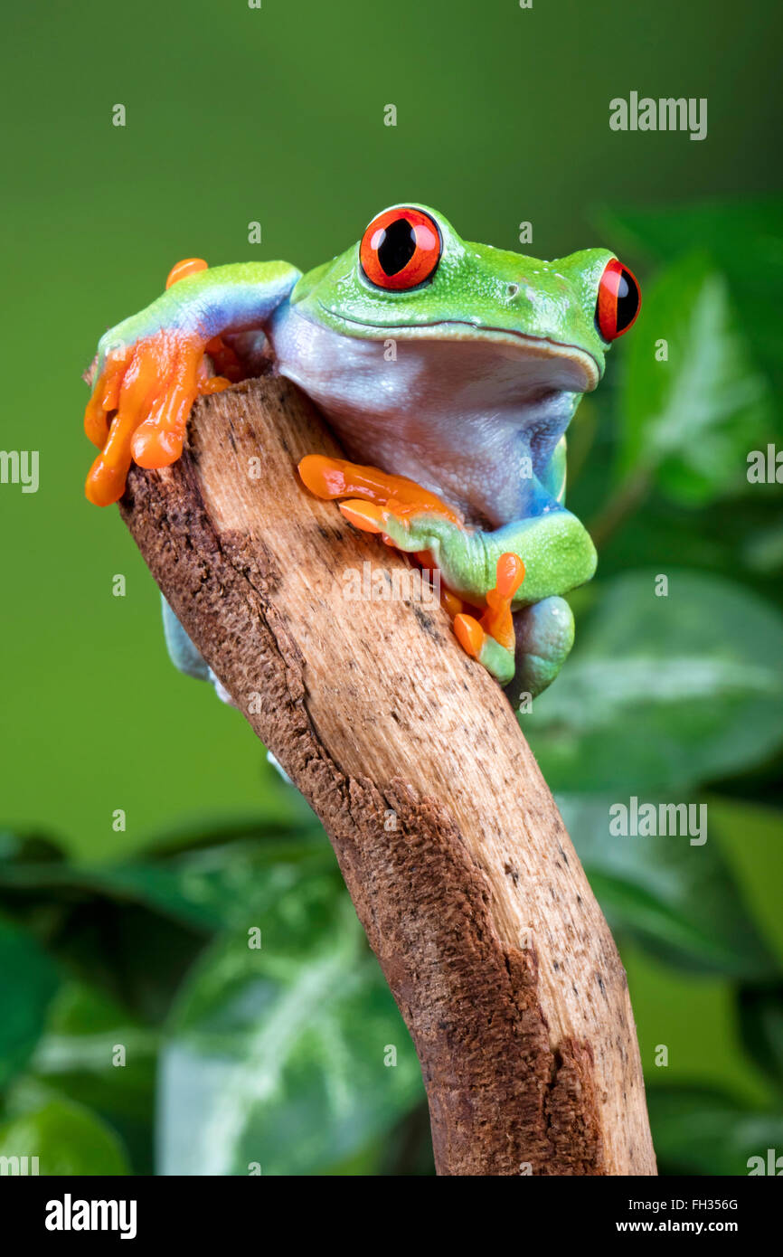 Red eyed tree frog looking inquisitive perched on a stick, in captivity, with green background. With Property Release. - Stock Image