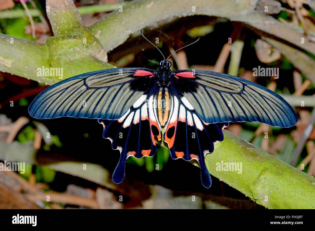 The Scarlet Swallowtail resting between feeds. - Stock Image