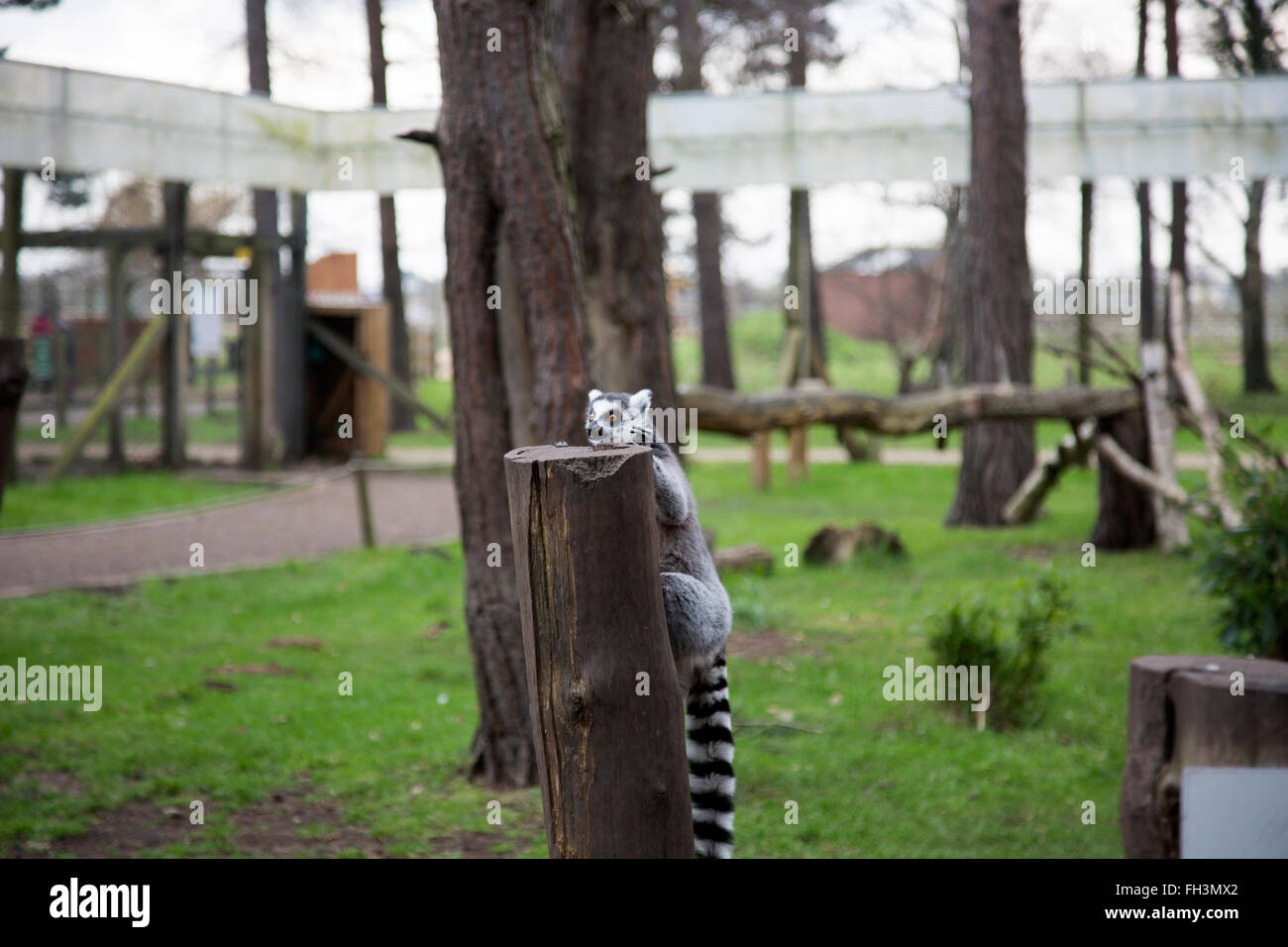 A lemur (Lemuriformes) climbs onto a tree stump at the Yorkshire Wildlife Park, Finningley, Doncaster, South Yorkshire, - Stock Image
