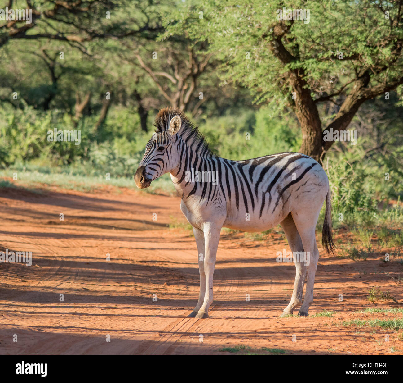 Burchell's Zebra in the Northern Cape, South Africa Stock Photo