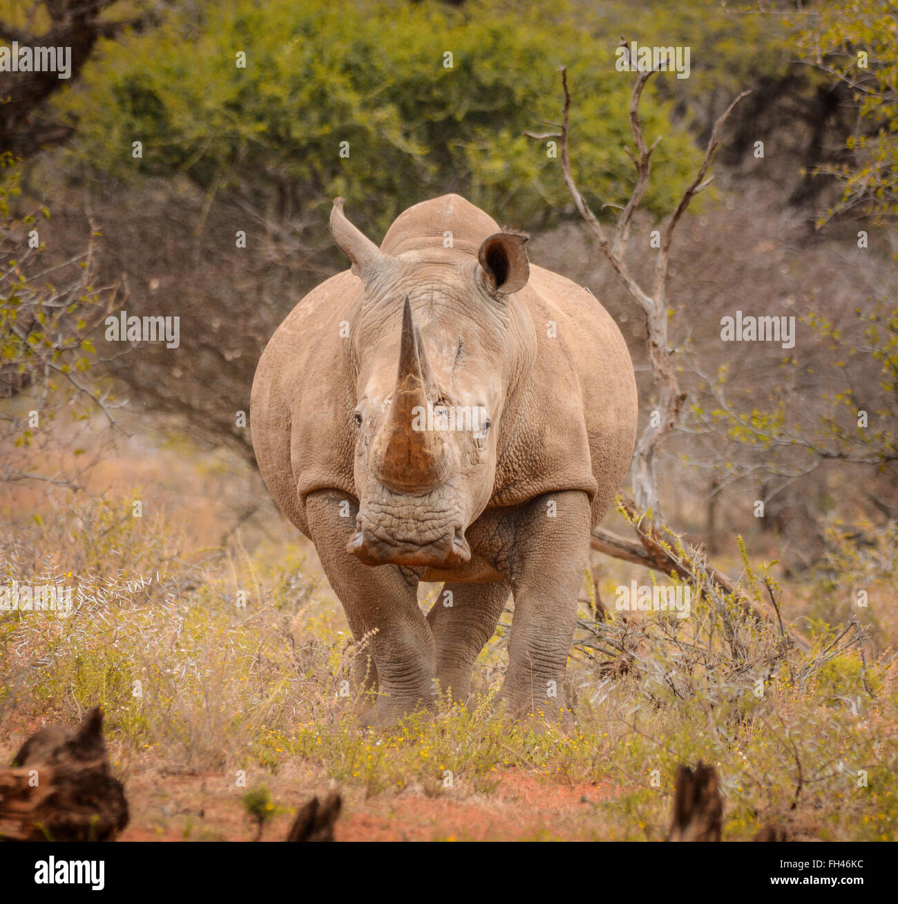 White Rninoceros in the Northern Cape, South Africa - Stock Image