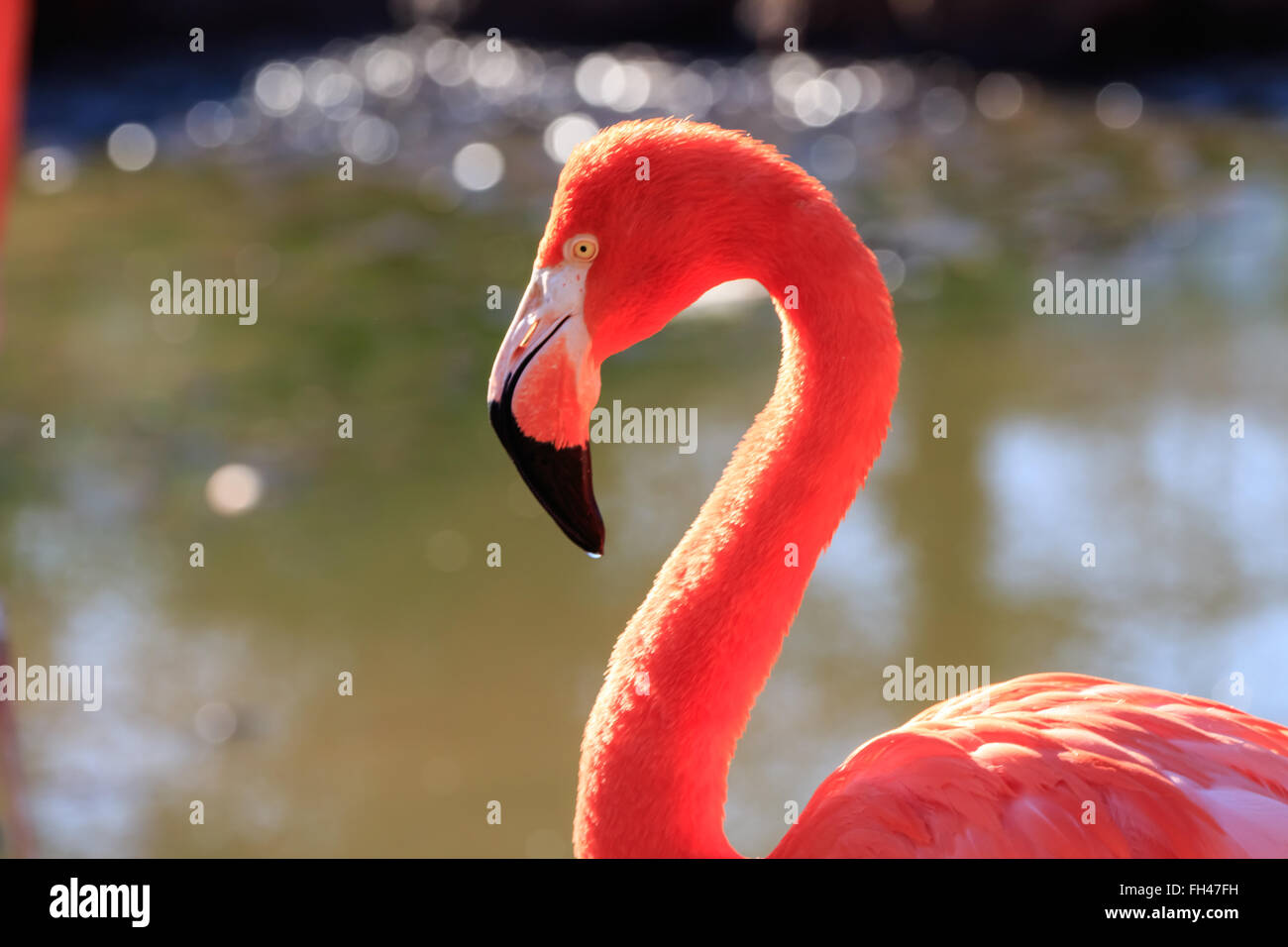 A graceful flamingo portrait - Stock Image