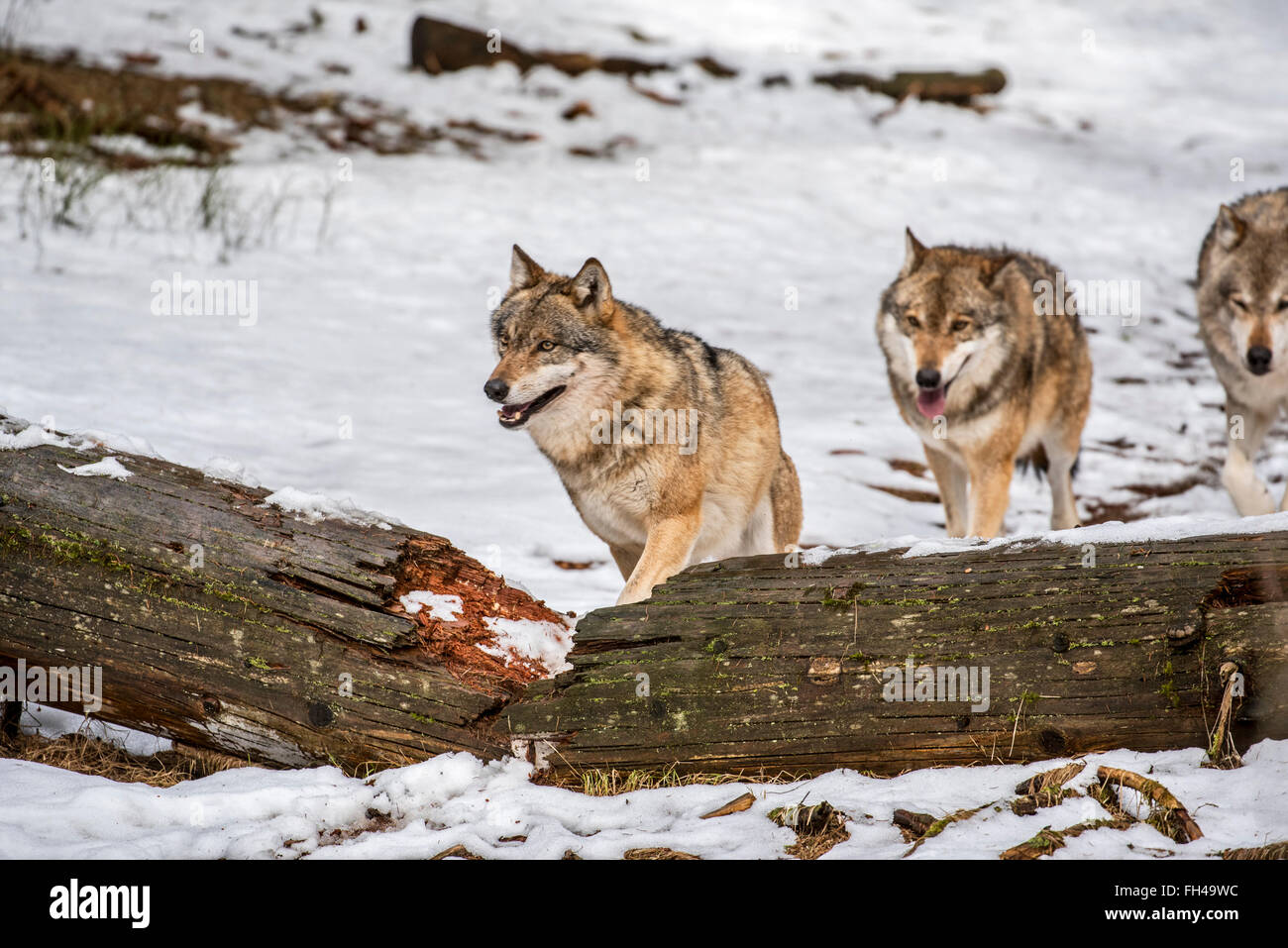 Gray wolves / grey wolf (Canis lupus) pack on the hunt running over fallen tree trunk in forest in the snow in winter - Stock Image