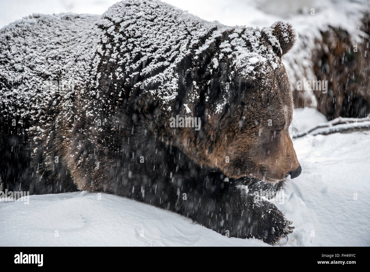 Close up of brown bear (Ursus arctos) lying at entrance of den during snow shower in winter / autumn - Stock Image