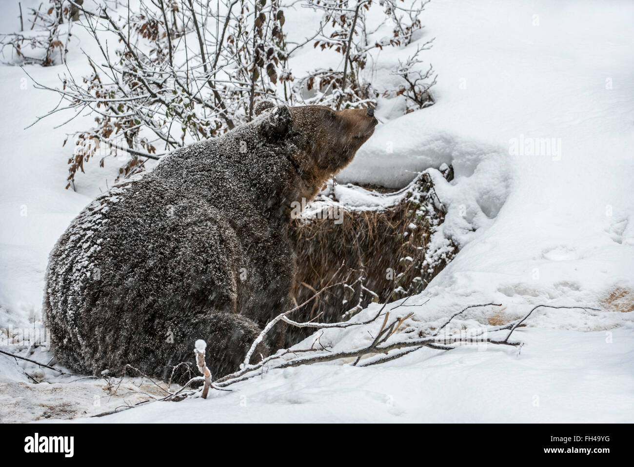 Brown bear (Ursus arctos) entering den during snow shower in autumn / winter - Stock Image