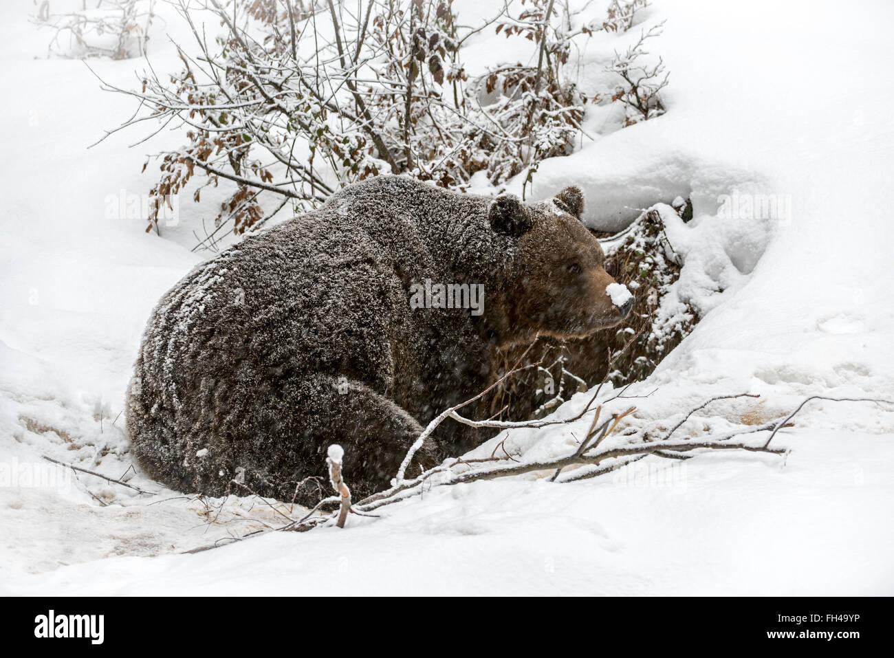 Brown bear (Ursus arctos) entering den during snow shower in autumn / winter Stock Photo