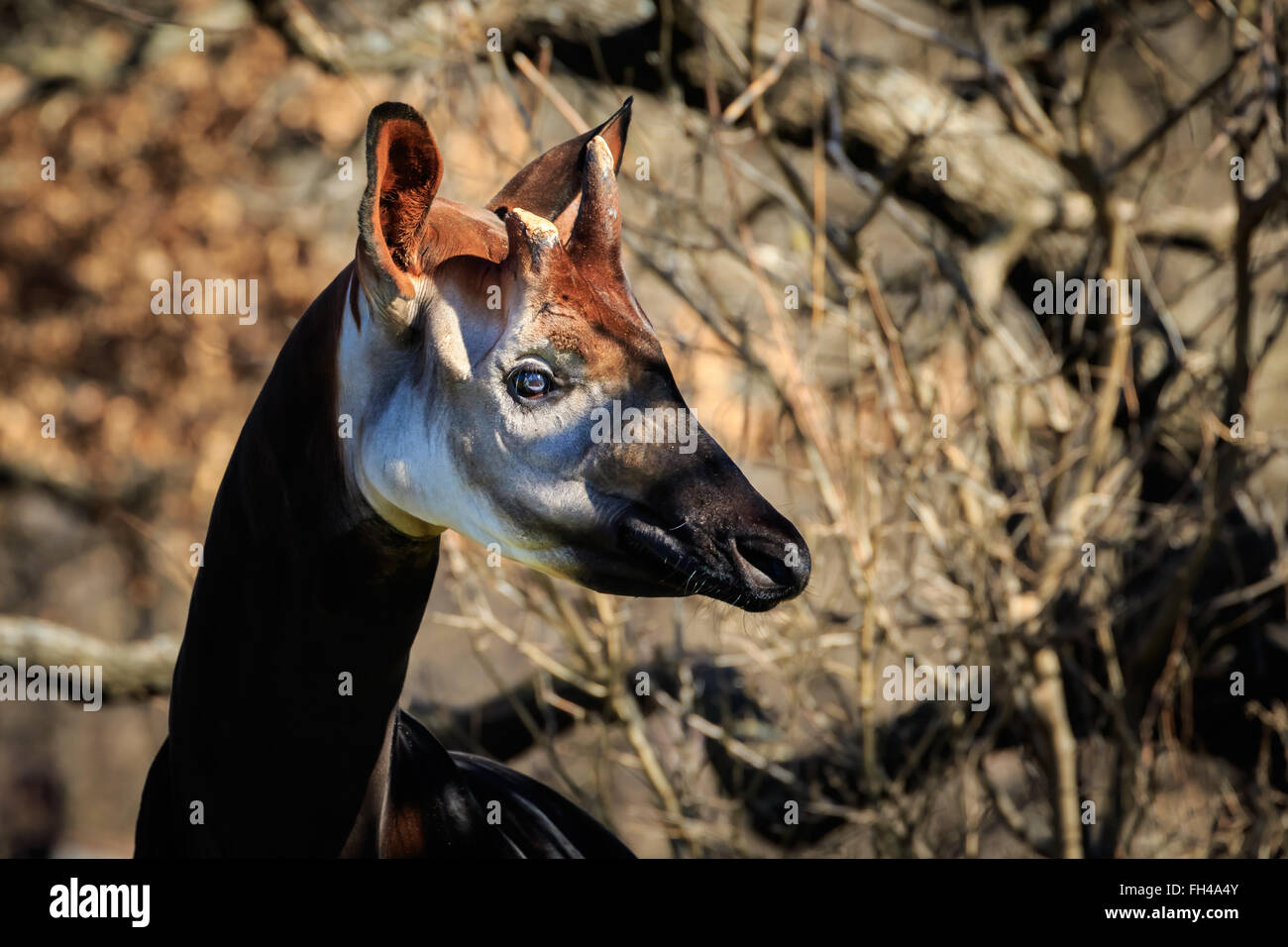 The elusive Okapi shows it's odd beauty for the camera - Stock Image