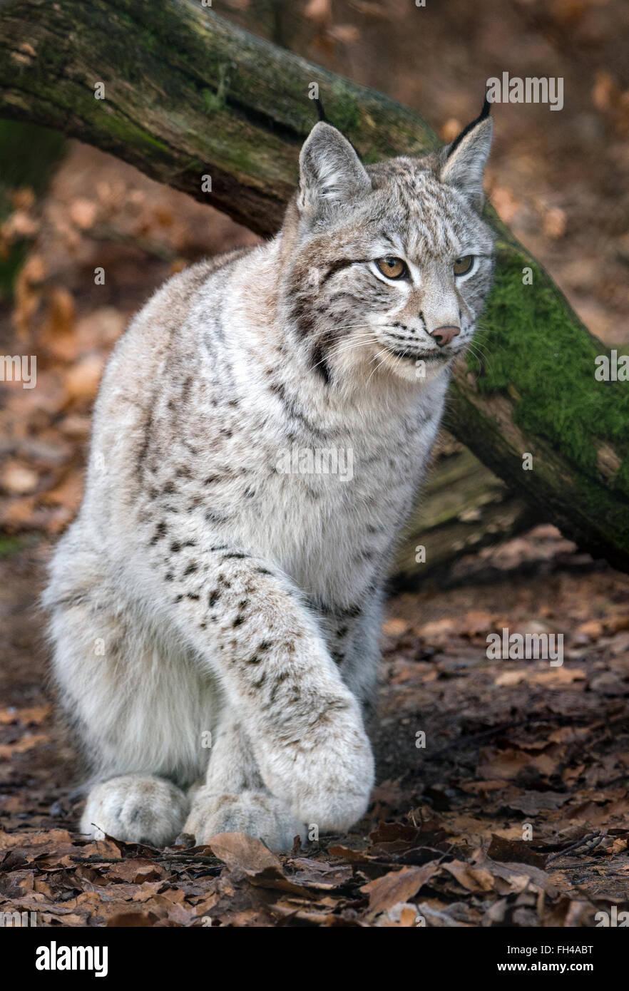 Female Eurasian Lynx In Light Grey Winter Coat Stock Photo
