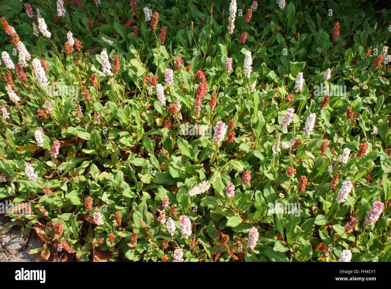 Himalayan fleeceflower - Stock Image