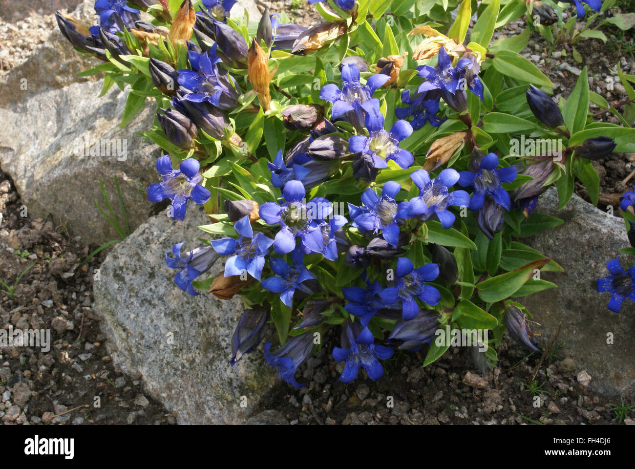 Pleated gentian - Stock Image