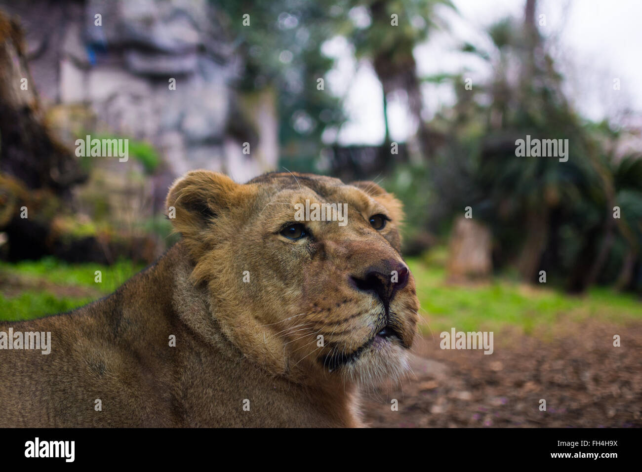 A stoic Lioness surveys her domain. - Stock Image