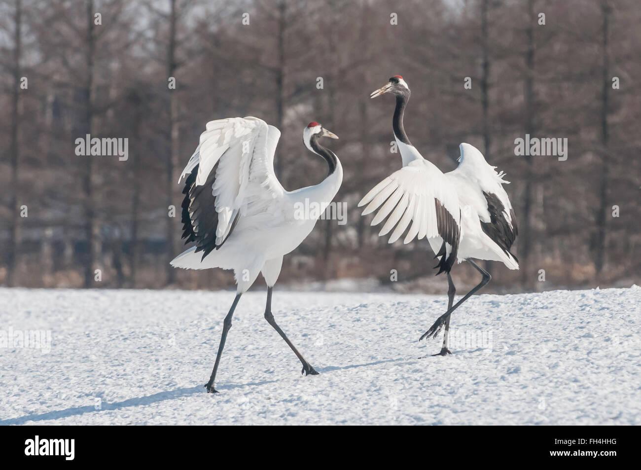 Red-crowed crane, Japanese crane, Grus japonensis, breeding display, Hokkaido, Japan Stock Photo