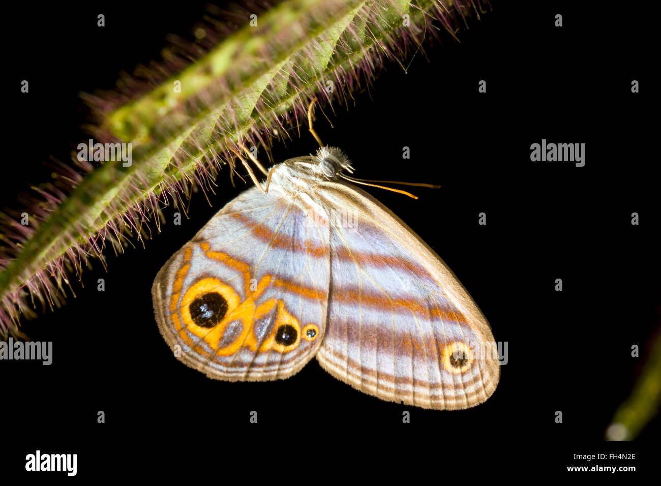 Hubner's Blue Ringlet (Chloreuptychia chlorimene, family Satyridae) in the rainforest understory, Pastaza province, - Stock Image