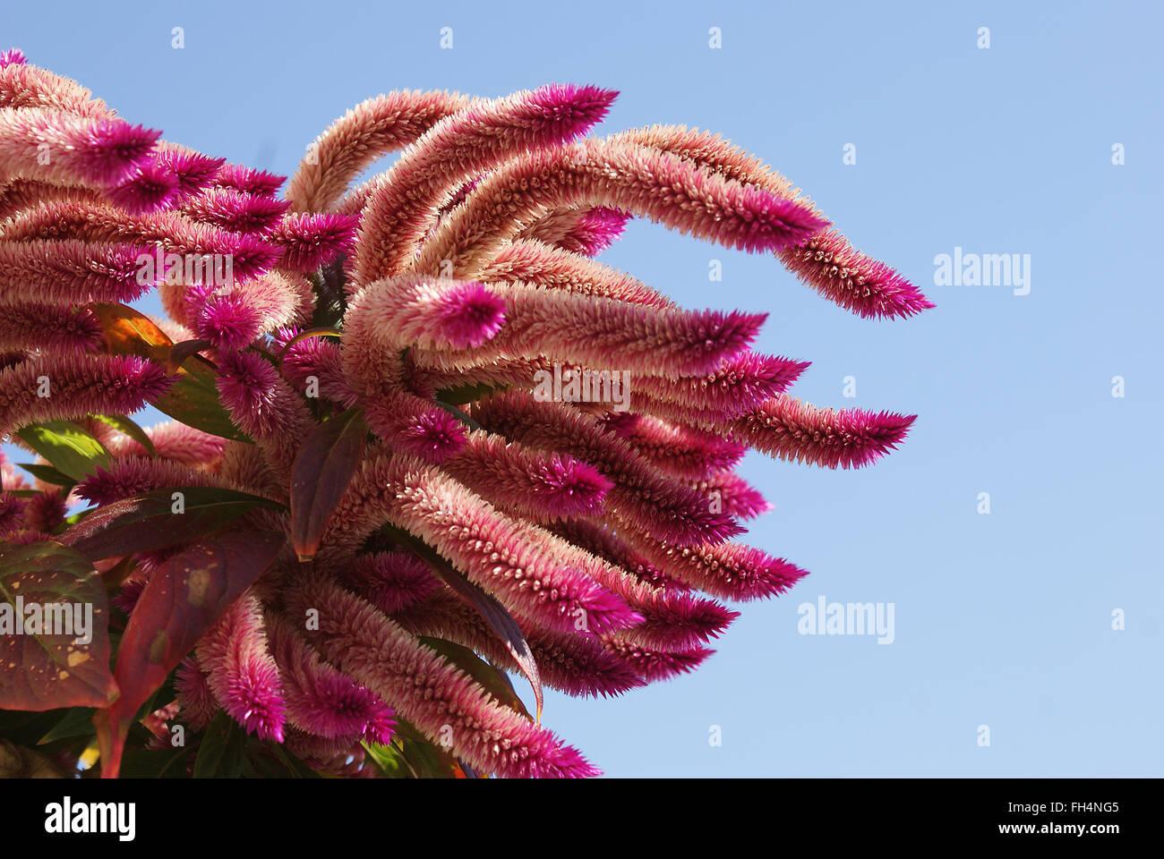 Magenta flower - Stock Image