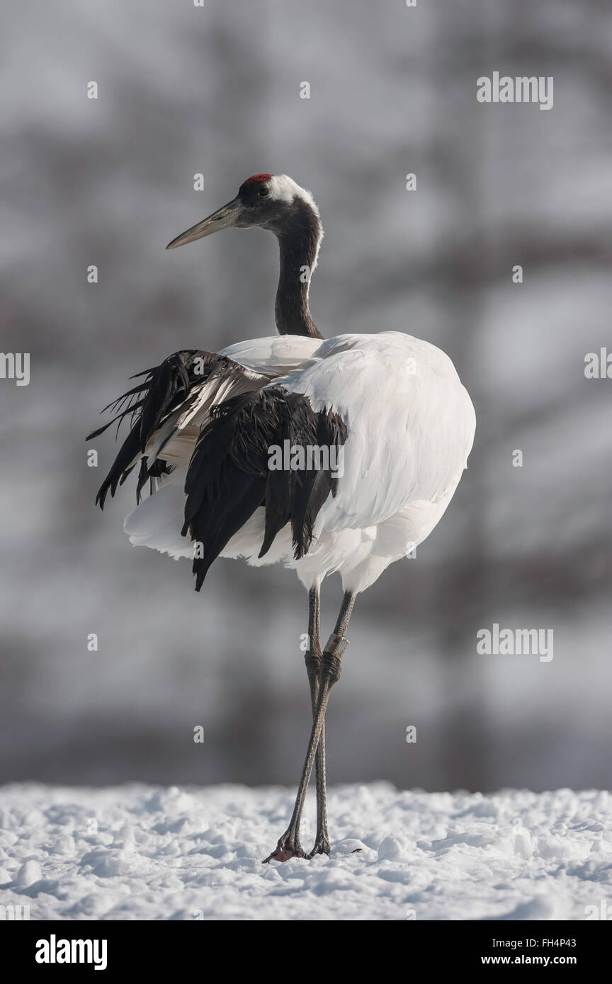 Red-crowed crane, Japanese crane, Grus japonensis, Hokkaido, Japan Stock Photo