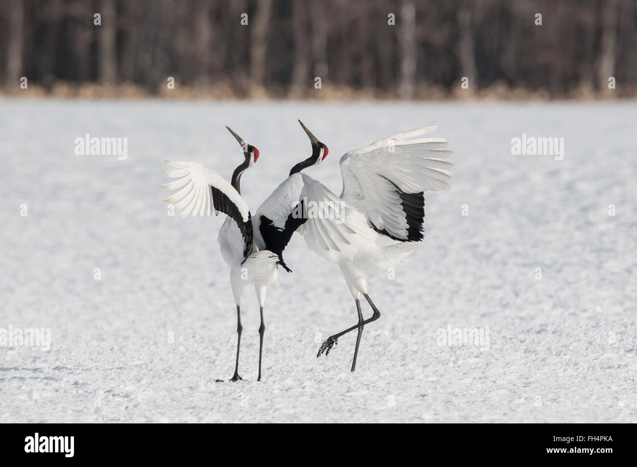 Red-crowed crane, Japanese crane, Grus japonensis, breeding display, Hokkaido, Japan - Stock Image