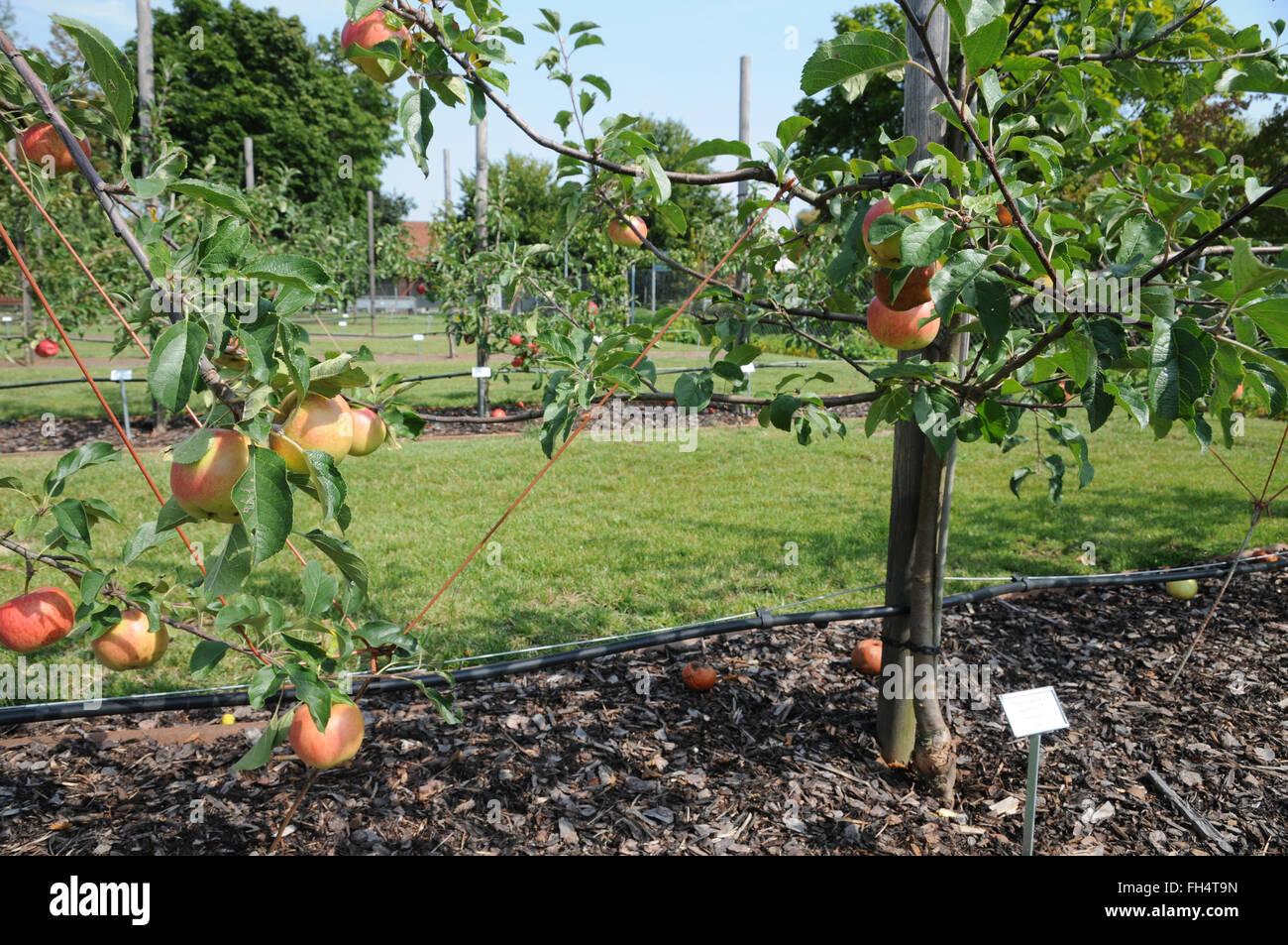 Apple tree trimming - Stock Image