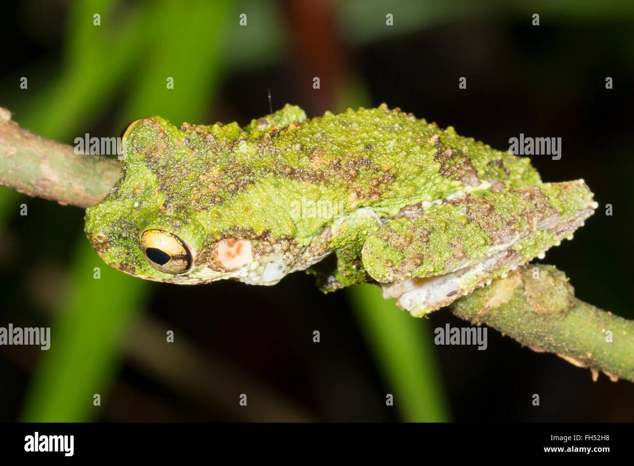 Buckley's Slender Legged Treefrog (Osteocephalus buckleyi). On a branch In the rainforest, Pastaza province, - Stock Image