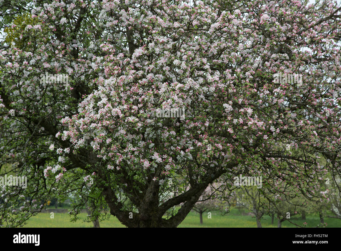 blooming apple tree on clouded day - Stock Image