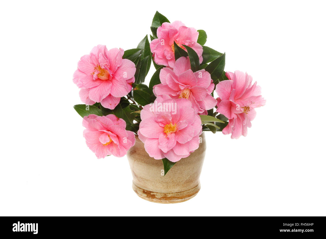 Arrangement of magenta Camellia flowers with foliage in a stoneware pot isolated against white - Stock Image