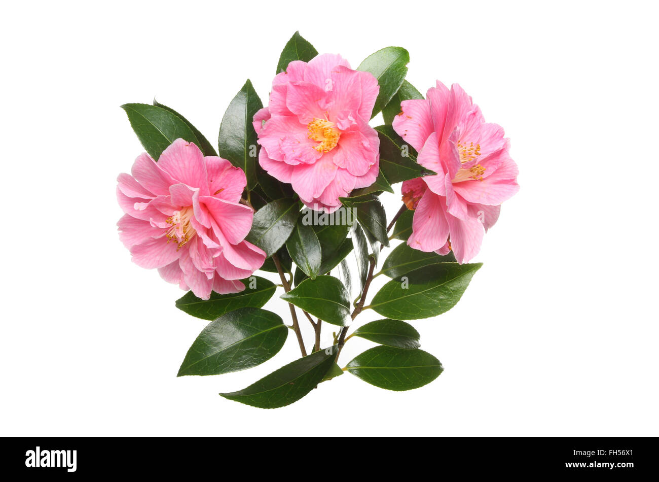Three magenta Camellia flowers and evergreen glossy foliage isolated against white - Stock Image