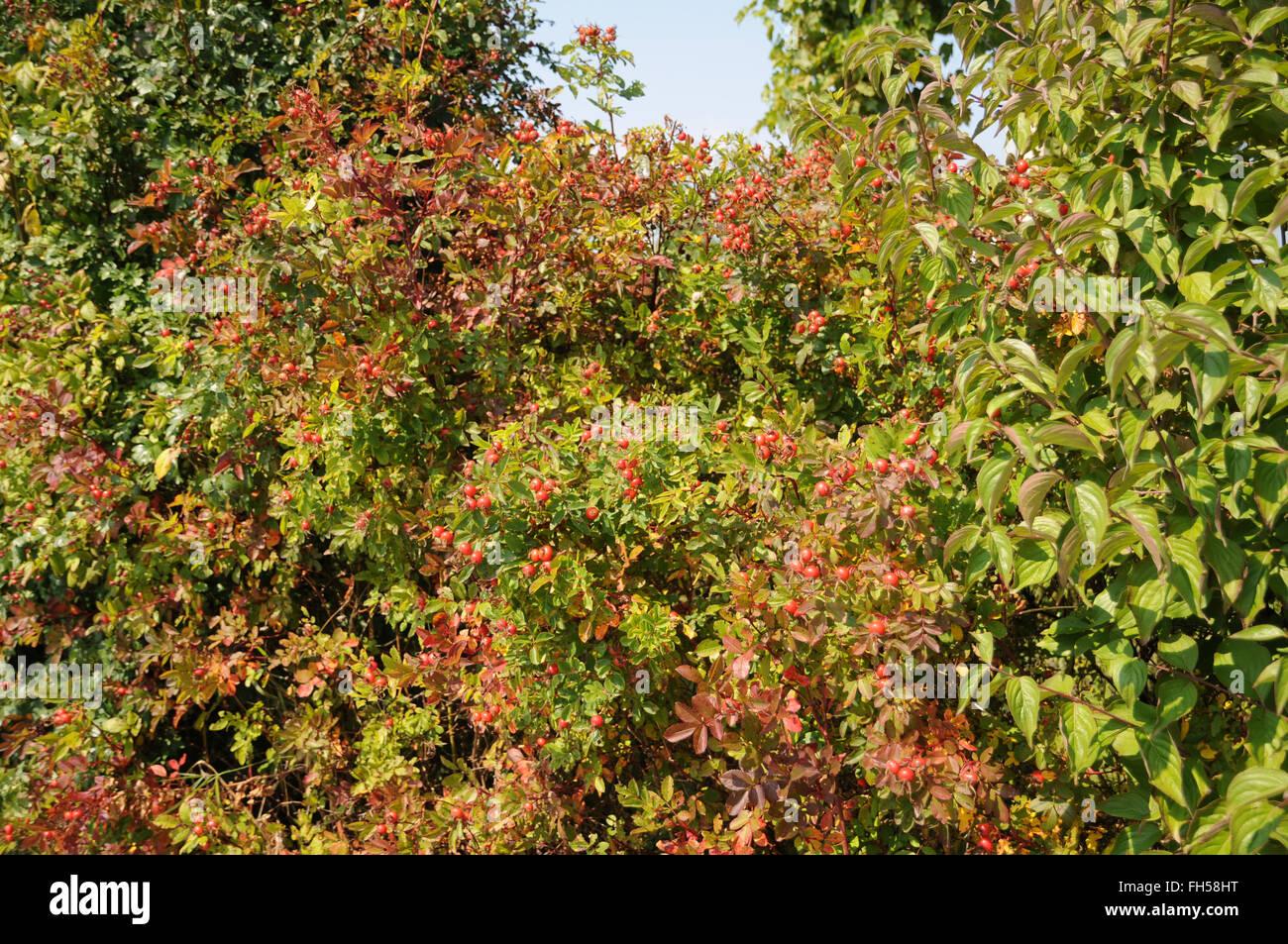 Shining rose - Stock Image