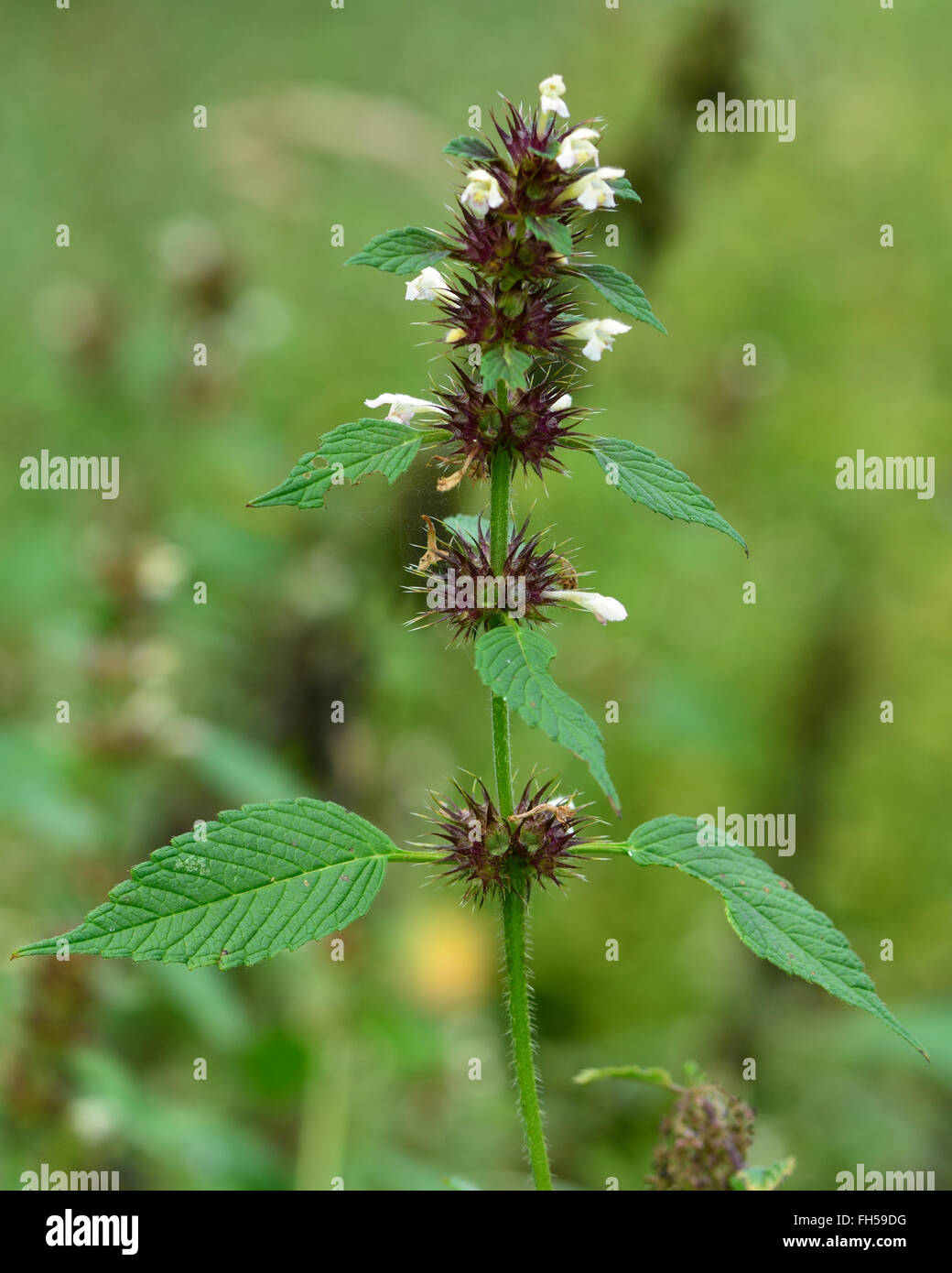 Common hemp-nettle (Galeopsis tetrahit). A herbaceous annual plant with white flowers, also known as brittlestem - Stock Image