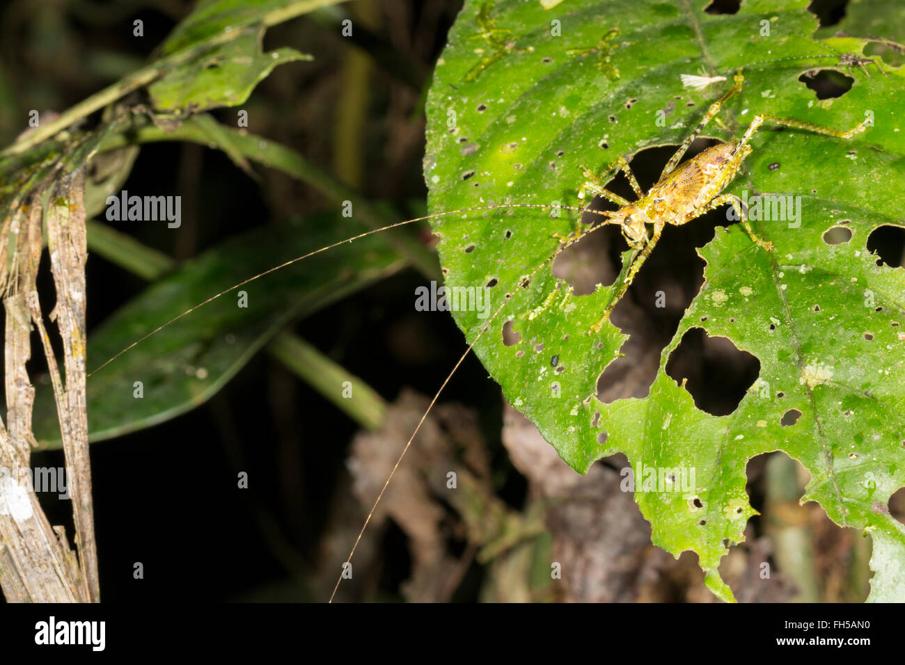 Katydid nymph with very long antennae in the rainforest, Pastaza province, Ecuador - Stock Image