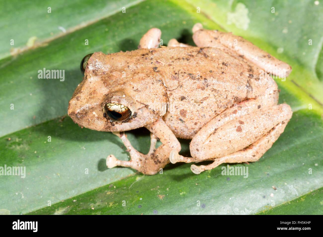 Delius rain frog (Pristimantis delius), in the rainforest, Pastaza province, Ecuador. - Stock Image