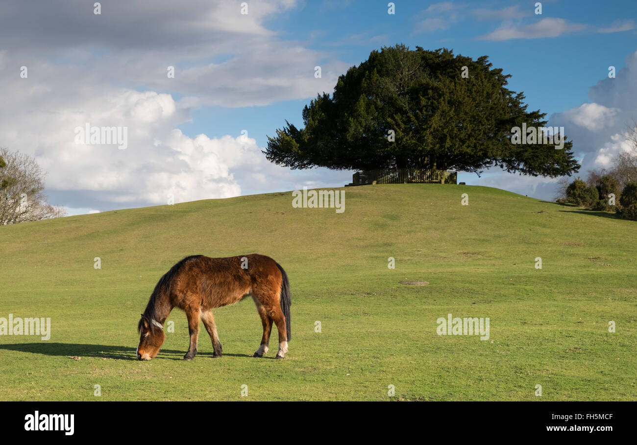 New Forest Ponies grazing at Bolton's Bench near Lyndhurst in the New Forest National Park - Stock Image