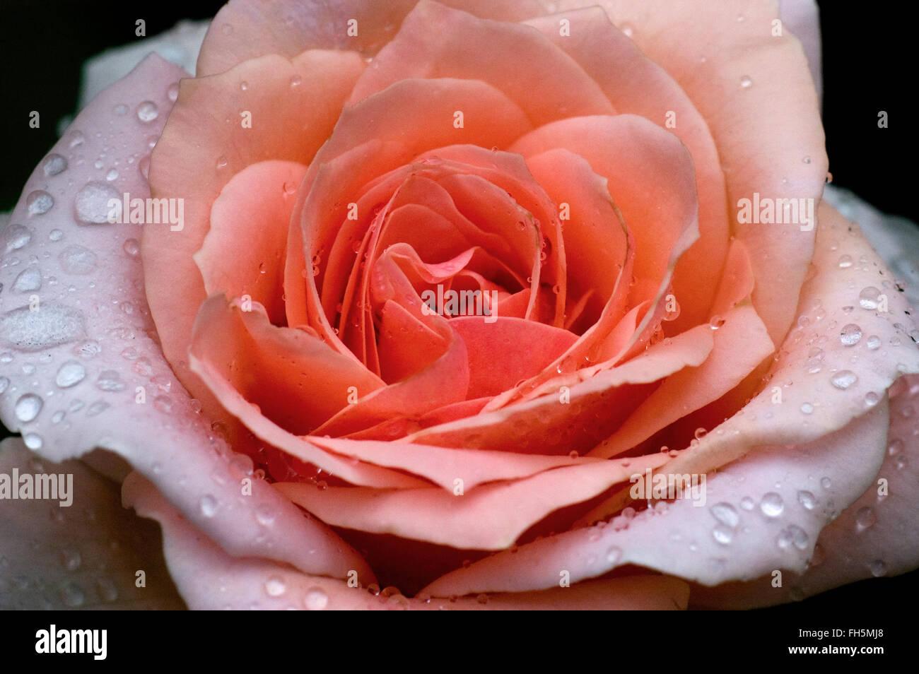 Rosa Johann Strauss Stock Photo