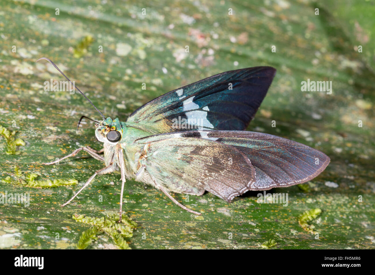 Skipper butterfly (Family Hesperidae) on a leaf in the rainforest, Pastaza province, Ecuador Stock Photo