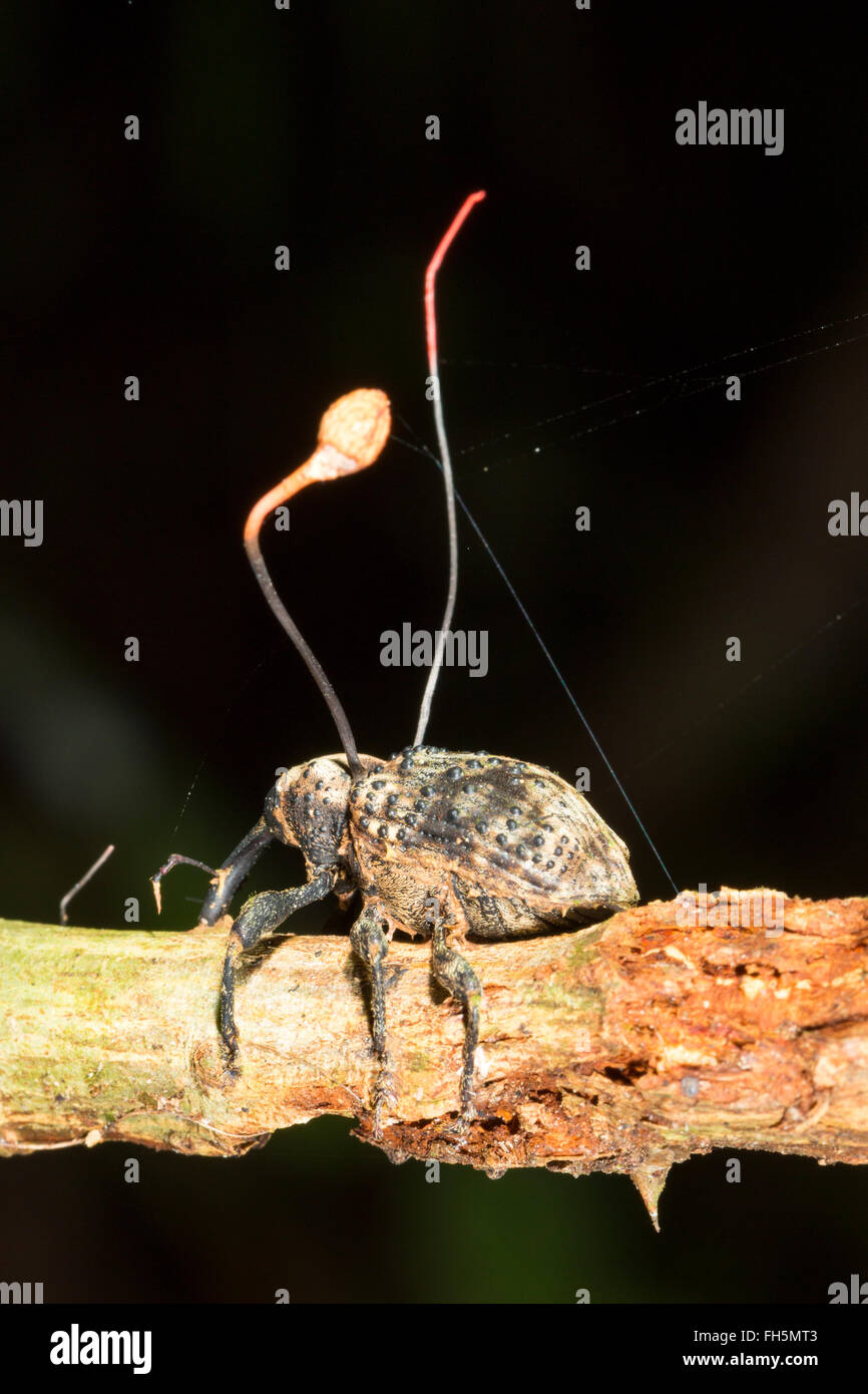 Weevil infected with cordyceps fungus (Ophiocordyceps curculionum), Pastaza province, Ecuador - Stock Image
