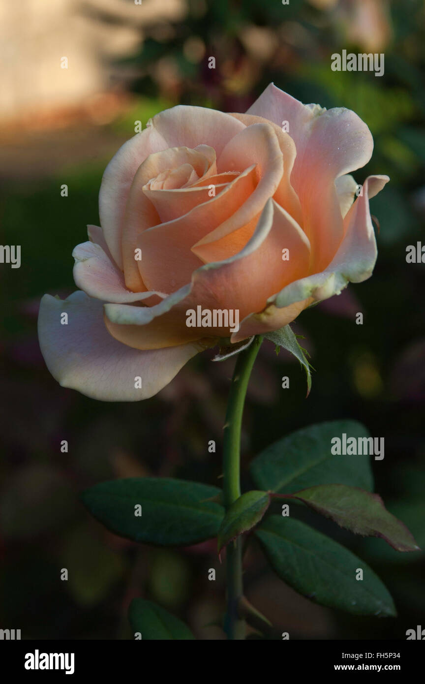 Rose MARILYN MONROE, apricot, hybrid tea, - Stock Image