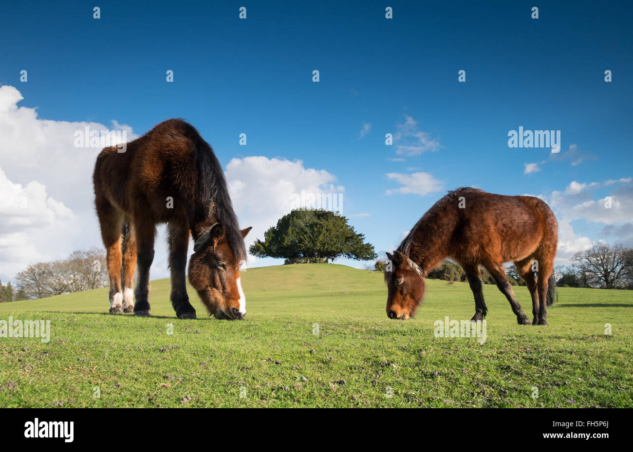 New Forest Ponies grazing at Bolton's Bench, Lyndhurst in the New Forest National Park - Stock Image