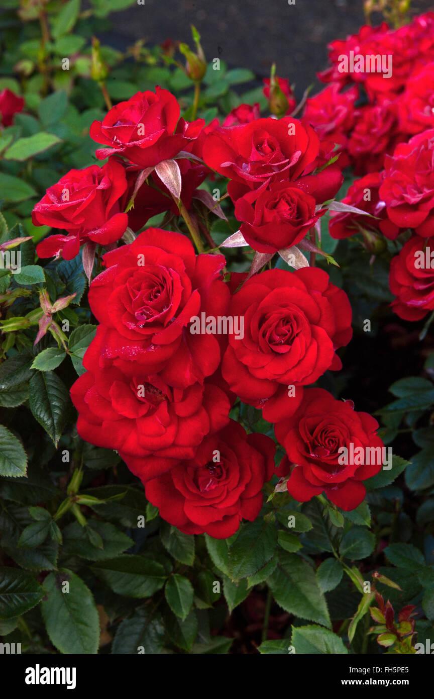 Rosa, Rose TIMELESS, hybrid tea, - Stock Image