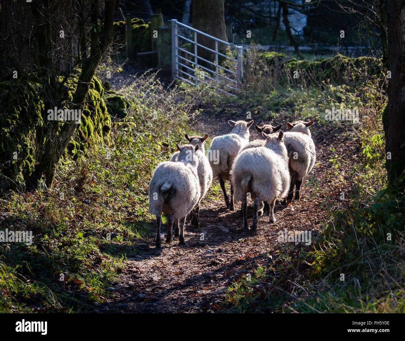 Small flock of sheep walking down a green lane towards a gate in the Derbyshire Peak District UK - Stock Image