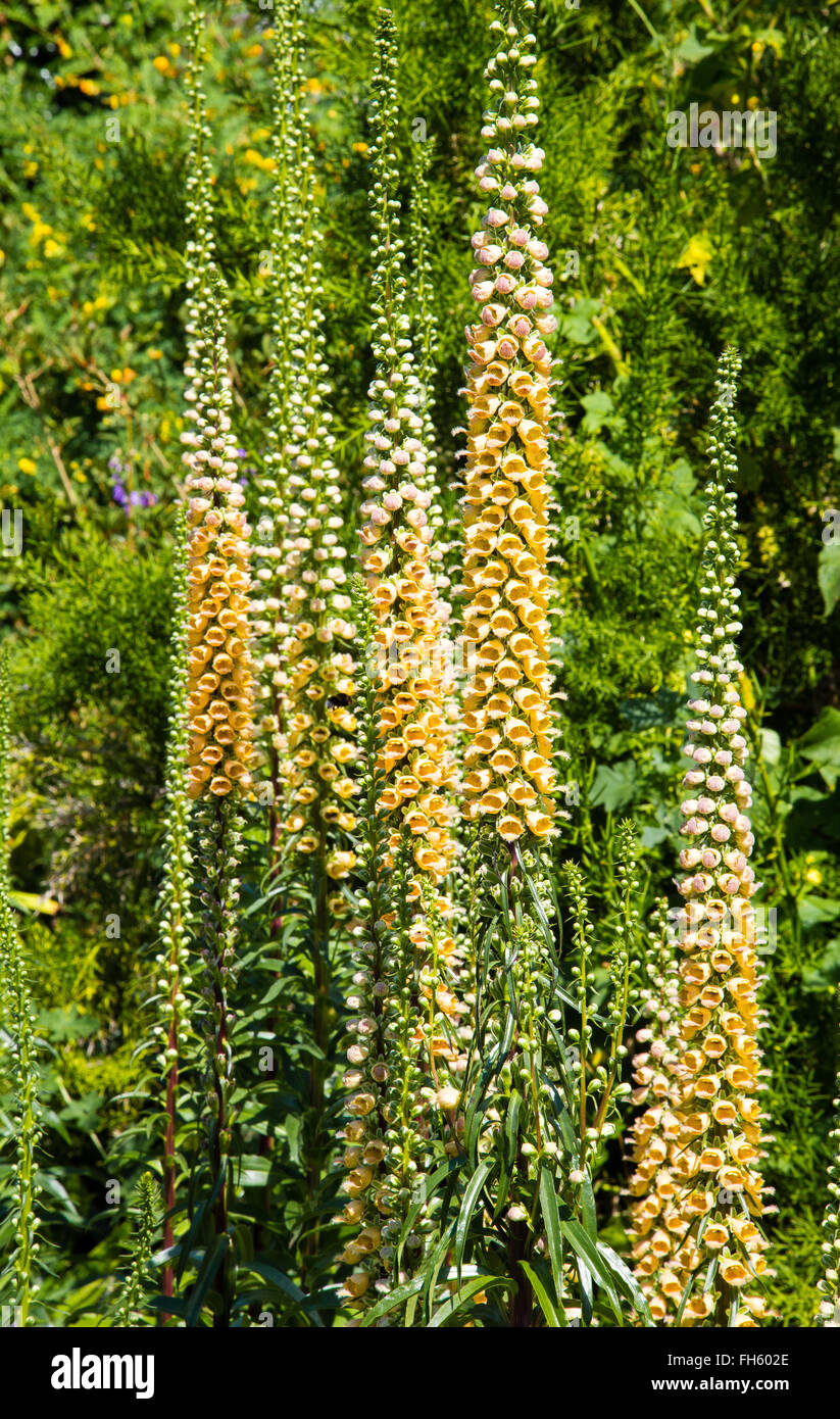 Foxglove Digitalis ferruginea flowers forming stately spires in an English garden UK - Stock Image