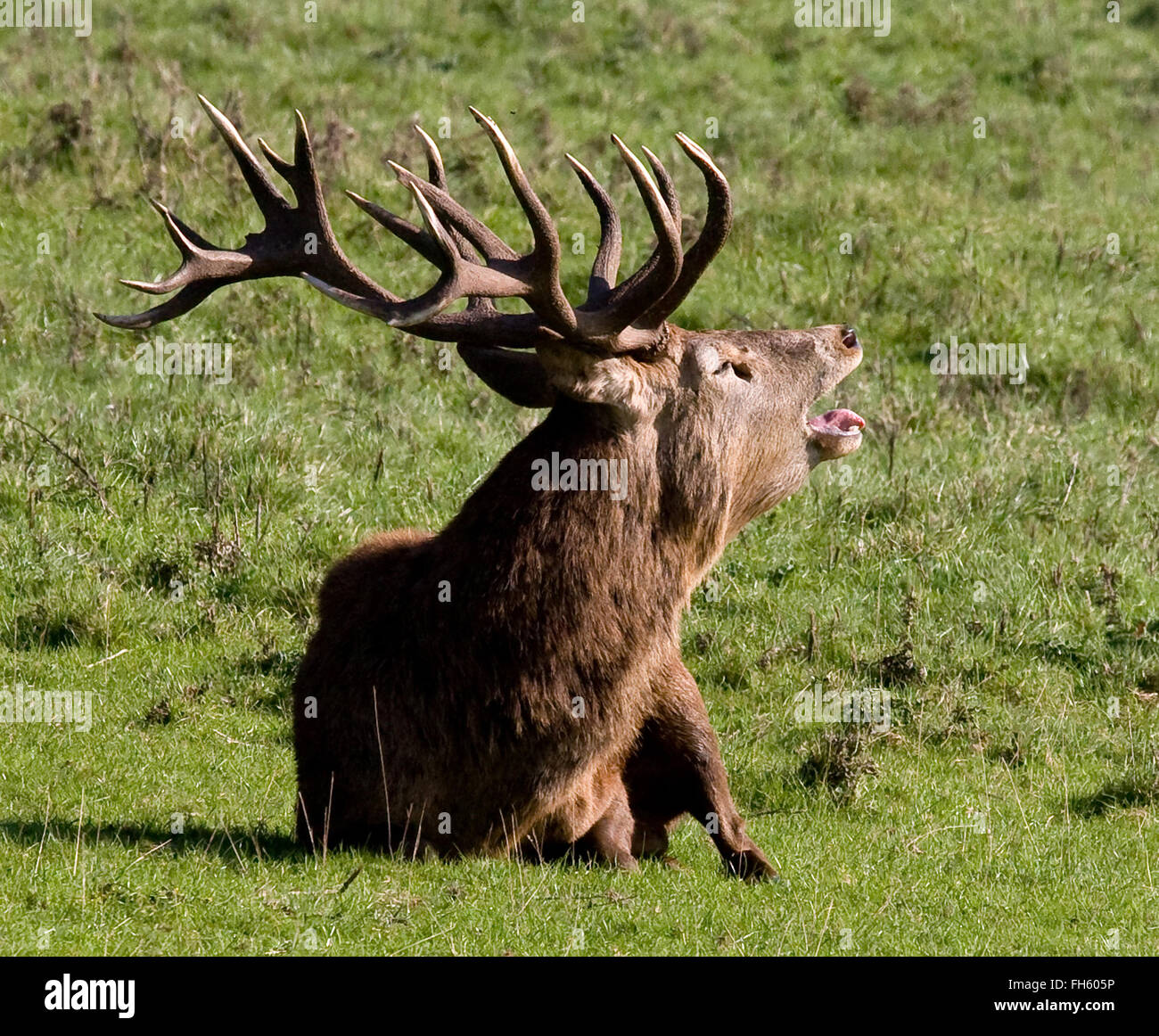 Ten pointed Red Deer stag Cervus elaphus bellowing in the rutting season Ashton Court Bristol UK - Stock Image