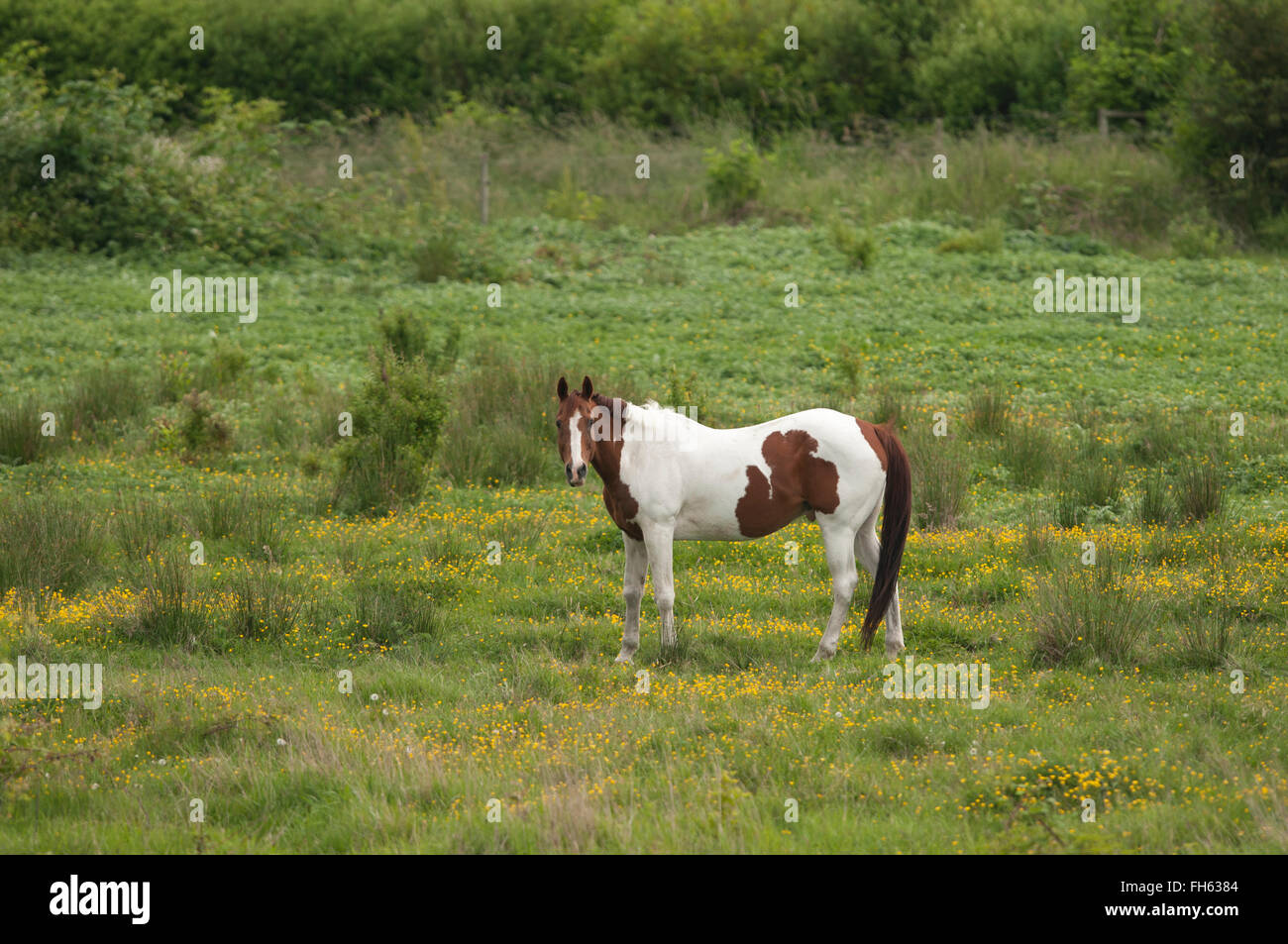 Pinto horse grazing in a meadow - Stock Image