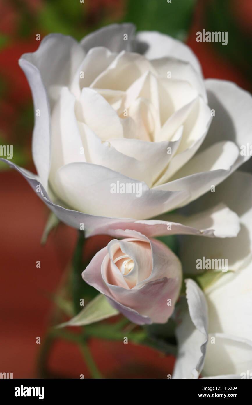 White rose flowers Stock Photo