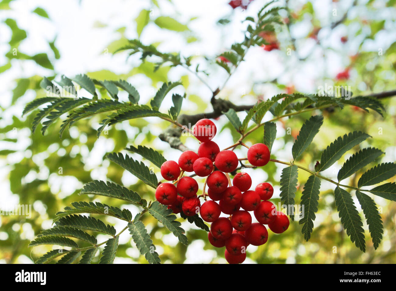 Red wild berries with green leaves Stock Photo