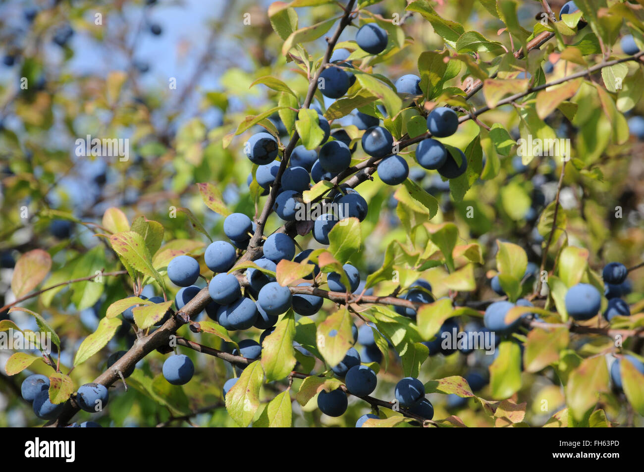 Blackthorn - Stock Image
