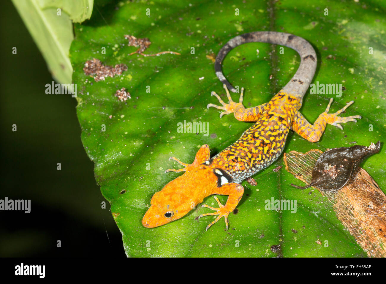 Collared Gecko (Gonatodes concinnatus) Male in breeding colouration in the rainforest understory, Pastaza province, - Stock Image